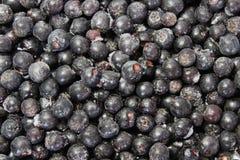 bakgrundschokeberry Royaltyfri Fotografi