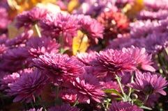 bakgrundschrysanthemumblomma Royaltyfri Fotografi