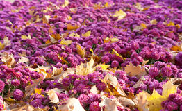 bakgrundschrysanthemumblomma Arkivbilder