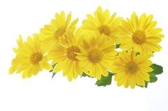 bakgrundschrysanthemumen blommar vit yellow fotografering för bildbyråer