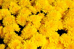 bakgrundschrysanthemumyellow royaltyfria bilder