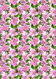 bakgrundsclematisen blommar pink Royaltyfri Bild