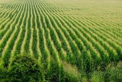 bakgrundscornfield Royaltyfri Fotografi