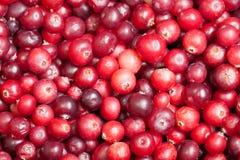 bakgrundscranberry Royaltyfria Bilder
