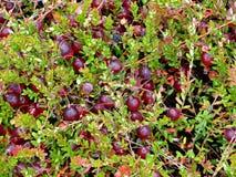 bakgrundscranberry Arkivfoto