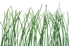 bakgrundsequisetumhorsetail Arkivfoto