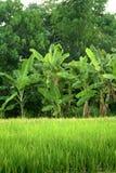 bakgrundsfältet planterar rice Arkivbilder