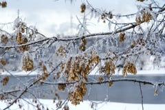 bakgrundsfilialen räknade snowvinter Royaltyfri Fotografi