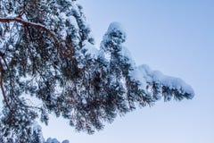 bakgrundsfilialen räknade snowvinter Fotografering för Bildbyråer