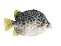 bakgrundsfisken försvinner snabbt white Arkivbild
