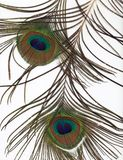 bakgrundsfjäderpåfågel Royaltyfri Fotografi
