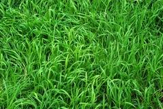 bakgrundsgräsgreen Royaltyfria Bilder