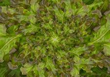 Bakgrundsgrönsallat Fotografering för Bildbyråer