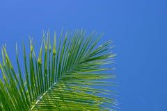 bakgrundsgreen gömma i handflatan skytreen Palmbladprydnad Tonat foto för Aqua blått Arkivfoton