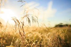 bakgrundsgreen låter vara lönnnatursommar våt Guld- äng under blå himmel med suddig bokeh Fotografering för Bildbyråer
