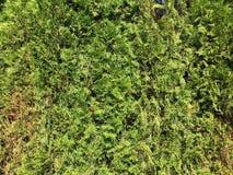 bakgrundsgreen låter vara väggen Bakgrund för växt för gräsplansidabuske Arkivfoto