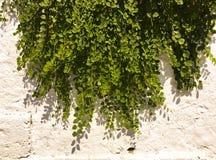 bakgrundsgreen låter vara väggen Bakgrund för växt för gräsplansidabuske Royaltyfri Foto