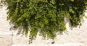 bakgrundsgreen låter vara väggen Bakgrund för växt för gräsplansidabuske Royaltyfria Bilder