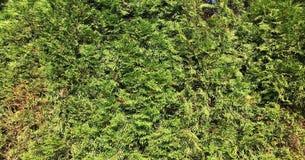 bakgrundsgreen låter vara väggen Bakgrund för växt för gräsplansidabuske Arkivbild