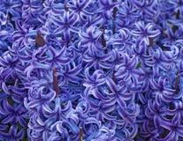 bakgrundshyacintfjäder Royaltyfri Fotografi