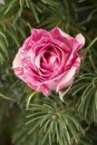bakgrundsjulen blommar den rose treen för ferie Royaltyfri Bild