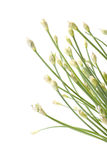 bakgrundsknoppar blommar vitlök Arkivbilder