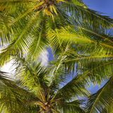 bakgrundskokosnötleaves gömma i handflatan tropiskt Arkivbild