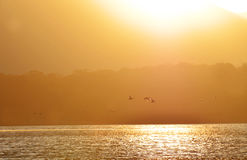 Bakgrundskonturer av änder som flyger i den guld- solnedgångsjön Fotografering för Bildbyråer