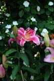 bakgrundskortet blommar rengöringsduk för universal för mall för hälsningsliljasida Royaltyfria Foton