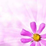 bakgrundskosmos blommar pink Royaltyfri Fotografi