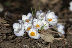 bakgrundskrokusblommor isolerade vit yellow för krukafjädertextilen Arkivfoton