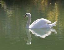 bakgrundslaken seglar swanwhite Royaltyfria Foton