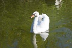 bakgrundslaken seglar swanwhite Royaltyfri Fotografi