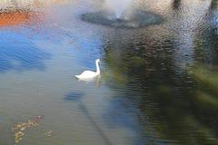 bakgrundslaken seglar swanwhite Fotografering för Bildbyråer