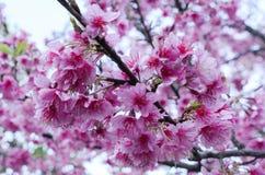 Bakgrundslandskap för körsbärsröd blomning Arkivbilder