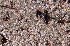 bakgrundsmixpebbles sand seaweedskal Royaltyfria Bilder