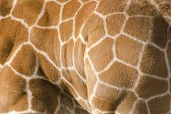 Bakgrundsmodell av giraffhud Royaltyfri Bild