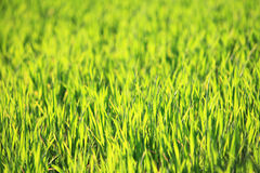Bakgrundsmodell för grönt gräs Royaltyfri Bild