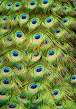 bakgrundspåfågel royaltyfri fotografi