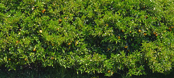 Bakgrundspanorama för orange träd Fotografering för Bildbyråer