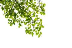 bakgrundsramgreen isolerade vita leaves Arkivbild