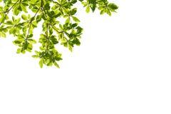 bakgrundsramgreen isolerade vita leaves Arkivfoton