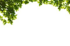bakgrundsramgreen isolerade vita leaves Royaltyfri Bild