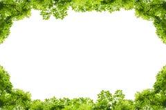 bakgrundsramgreen isolerade vita leaves Fotografering för Bildbyråer