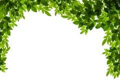 bakgrundsramgreen isolerade vita leaves Royaltyfri Foto