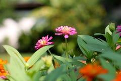 Bakgrundsrosa färgblomma och gräsplanblad 52 royaltyfria bilder