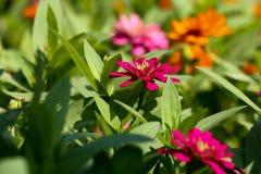 Bakgrundsrosa färgblomma och solljus 50 arkivbild