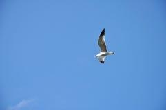 Bakgrundsseagull med blå himmel Royaltyfri Bild