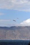 Bakgrundsseagull med blå himmel och sjön Arkivbilder