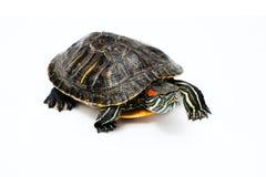 bakgrundssköldpaddawhite arkivbilder